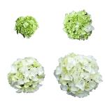 Hvid Hortensia fra knop til blomst - White Obsession