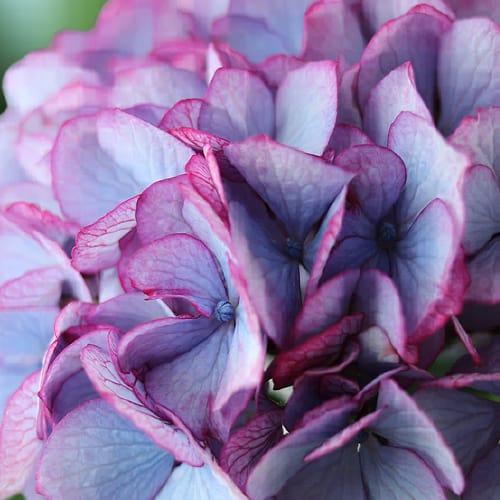 hortensia blomst 2