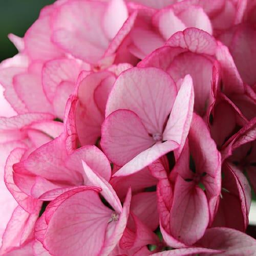 hortensia blomst 3