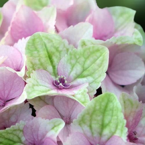 hortensia blomst