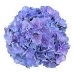 Blomsterhoved af en blaa Hortensia, Blue Favorite