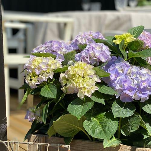 Dekorations billede af en blaa Hortensia, Blue Favorite