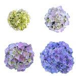 Blomstensudvikling af en blaa Hortensia, Blue Favorite