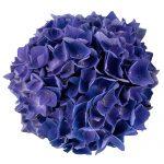 Blomsterhoved af en blaa Hortensia, Blue Sunset