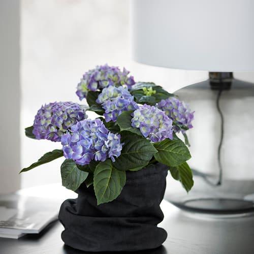 Blaa Hortensia i sort vase
