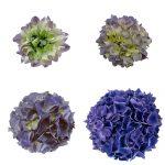 Blomstensudvikling af en blaa hortensia, Blue Sunset