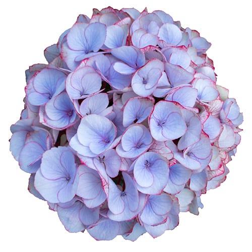 Blomsterhoved af en blaa hortensia, blue twilight dream