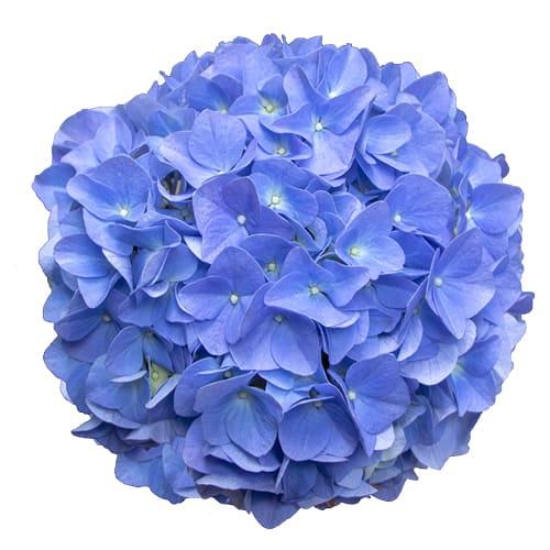 Blomsterhoved af en blaa hortensia, Blue Velvet