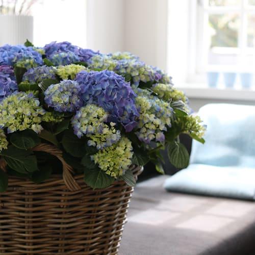 Dekorations billede af en blaa Hortensia