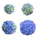 Blomstensudvikling af en blaa Hortensia, Blue Velvet