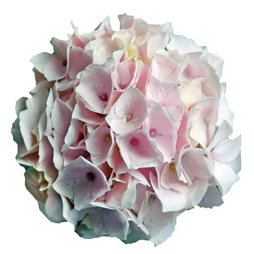 Blomsterhoved af en pink hortensia, Candyfloss