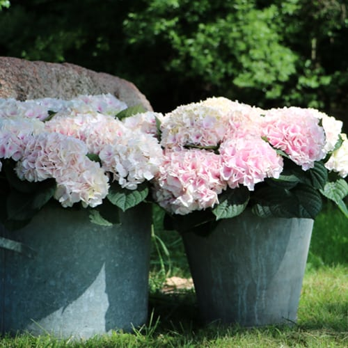 Pink Hortensia i graa spandere