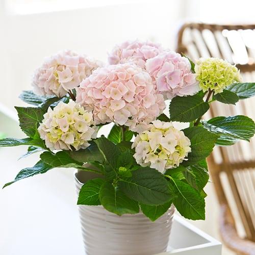 Pink Hortensia i en sandfarvet vase.