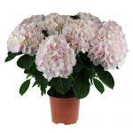 Varebillede af en sart pink Hortensia, Candyfloss
