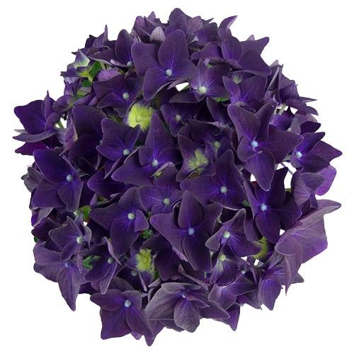 Blomsterhoved af en lilla hortensia, Deep Purple