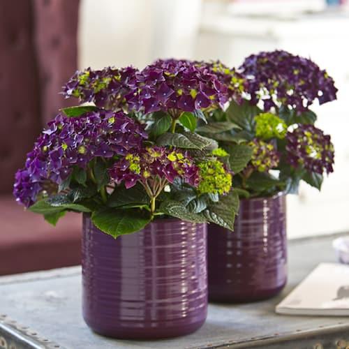 Dekorations billede af en lilla Hortensia i lilla vase