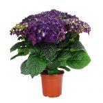 Varebillede af en lilla Hortensia, Deep Purple