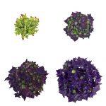 Blomstenudvikling af en lilla Hortensia, Deep Purple