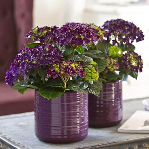 hortensia deep purple