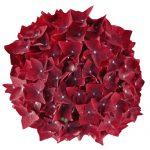 Blomsterhoved af en roed Hortensia, Deep Red