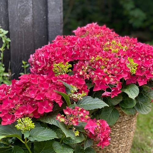 Dekorations billede af en roed Hortensia