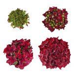 Blomstensudvikling af en roed Hortensia, Deep Red