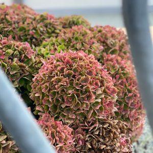 pink Hortensia i efteraaret