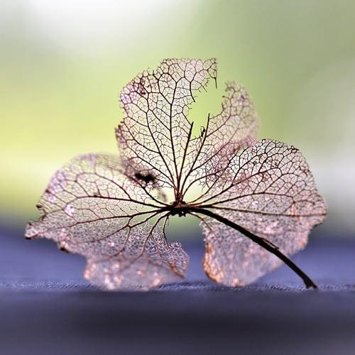 hortensia efteraar spindelvaev