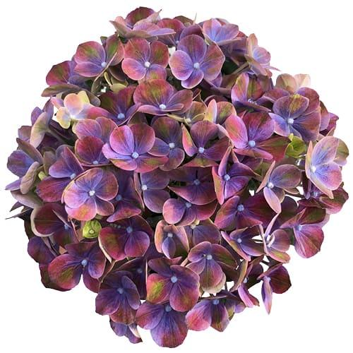 Blomsterhoved af en blaa hortensia, Green Fusion Blue