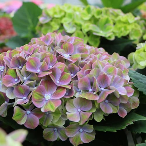 Dekorations billede af en blaa Hortensia, Green Fusion Blue