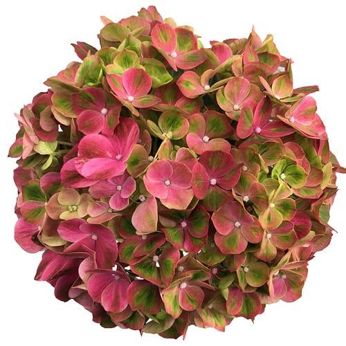 Blomsterhoved af en pink hortensia, Green Fusion Pink