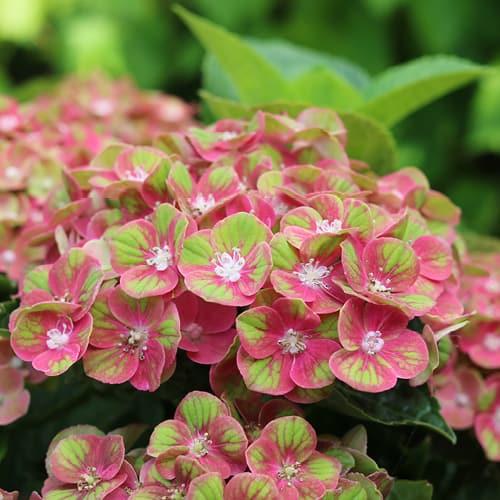 Close up af en pink Hortensia, Green Fusion Pink