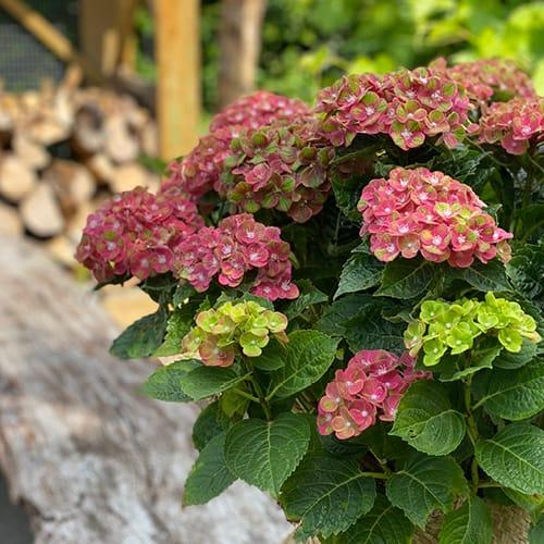 Dekorations billede af en pink Hortensia