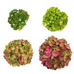 Udviklingsbillede af en pink Hortensia, Green Fusion Pink