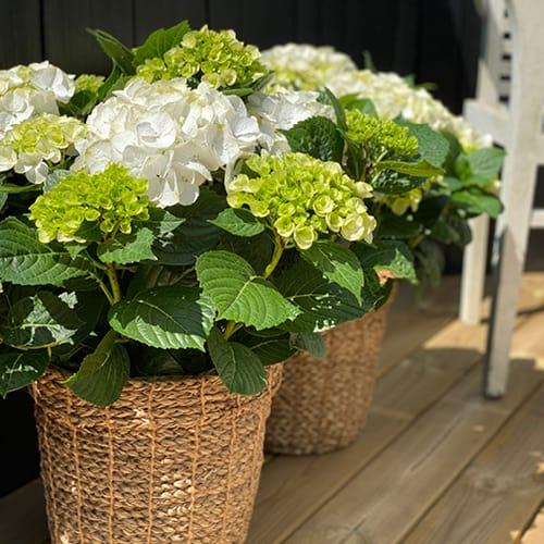 hortensia hvid 4