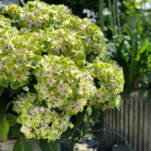hortensia i haven