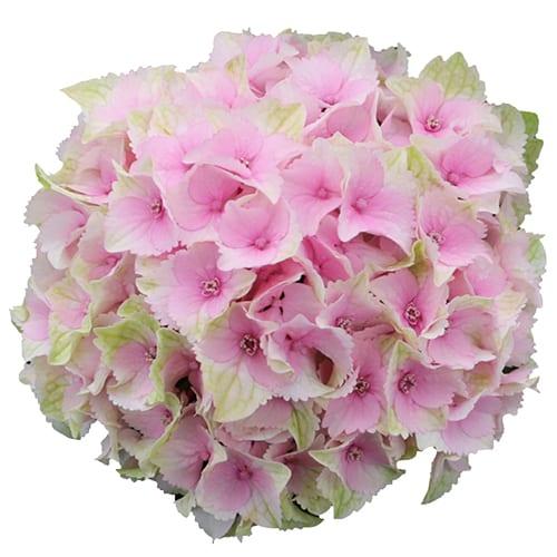 Blomsterhoved af en sart pink hortensia, Lemon Kiss