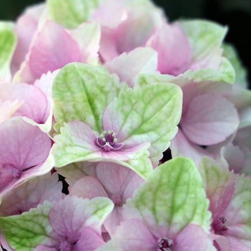 Close up billede af en sart pink Hortensia