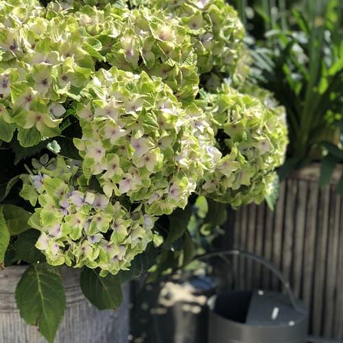 Dekoration billede af en Hortensia