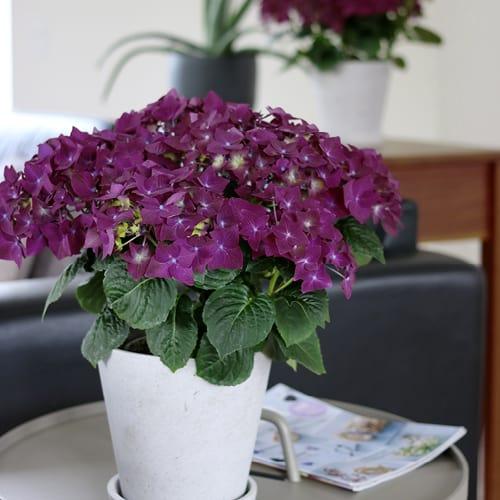 hortensia lilla 2