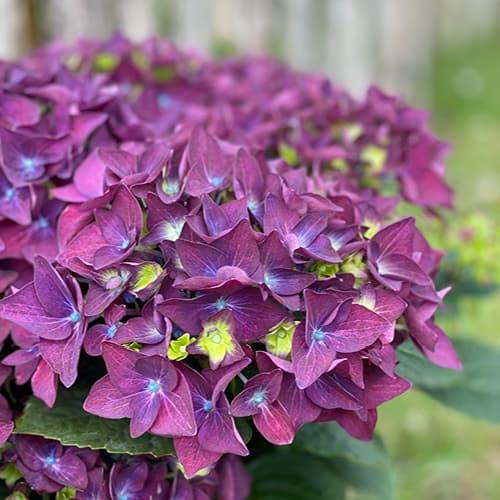 hortensia lilla 3