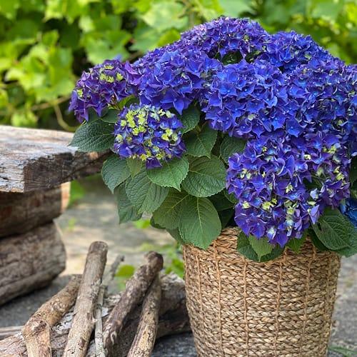 hortensia lilla blaa
