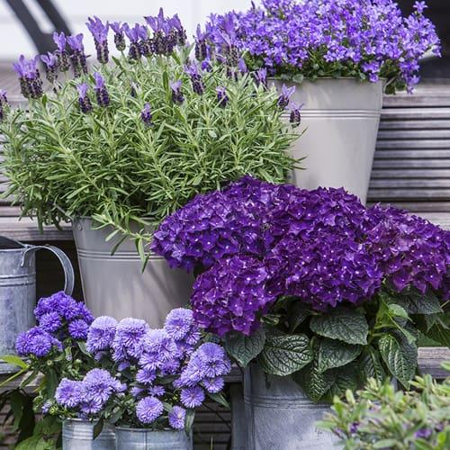 hortensia lilla miljoe