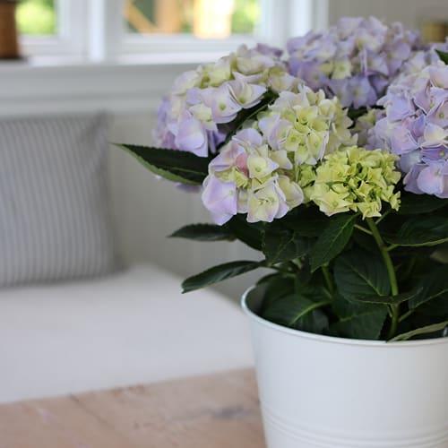 hortensia lyseblaa