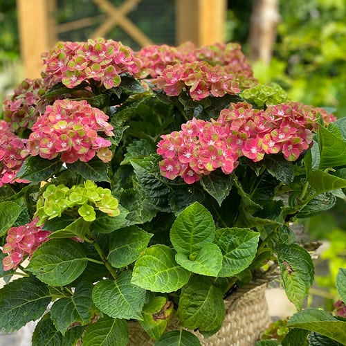 hortensia outdoor
