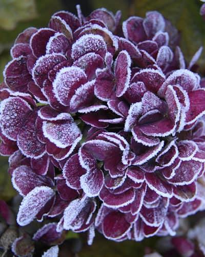 Lilla hortensia med frost paa bladene