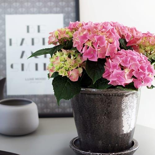 hortensia pink 2