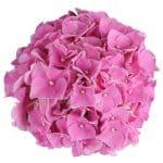Blomsterhoved af en pink Hortensia, Pink Favorite