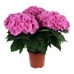 Varebillede af en pink Hortensia, Pink Favorite