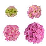 Blomstensudvikling af en pink Hortensia, Pink Favorite